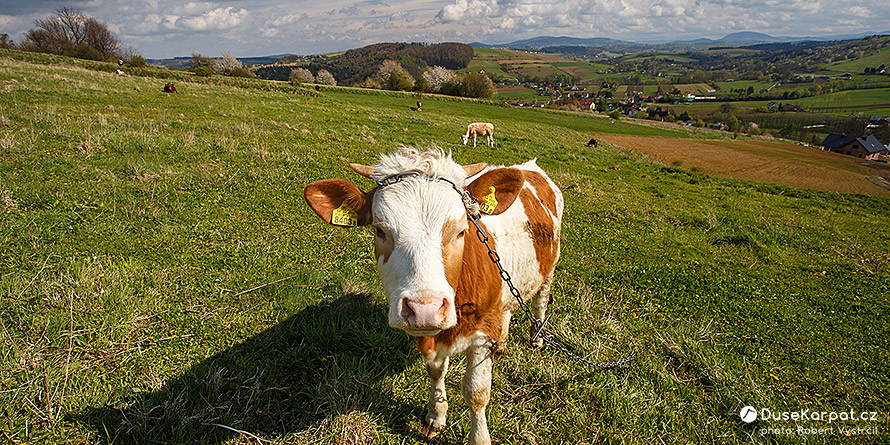 Pogórze Rożnowskie - a cow grazing over the village of Pławna